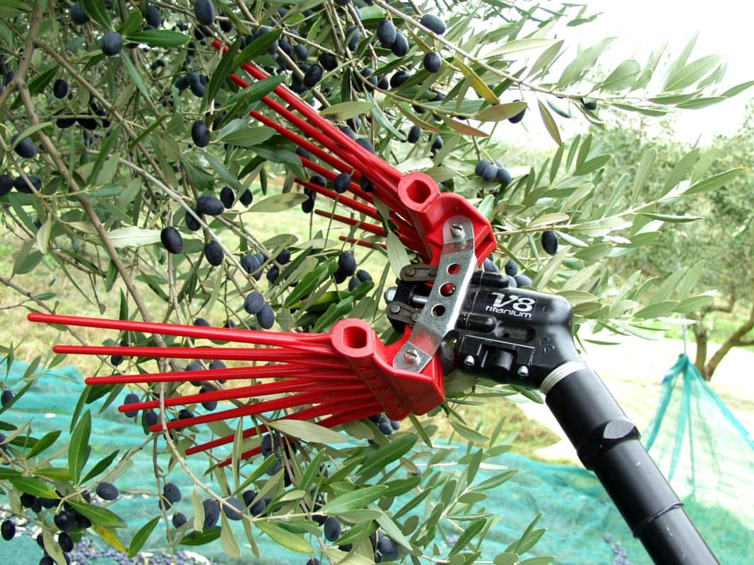 Quot Assisted Quot Olive Harvesting