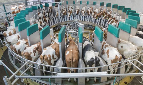 Mungitura sistemi automatizzati impianti e nuovi materiali for Recinzione elettrica per capre